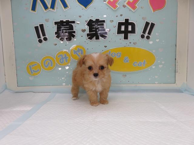 人気のミックス犬!チワプー!アプリコットホワイト!メス!