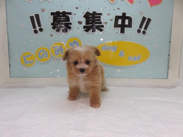 当店一番人気のミックス犬!マルプー!アプリコットホワイト!メス!