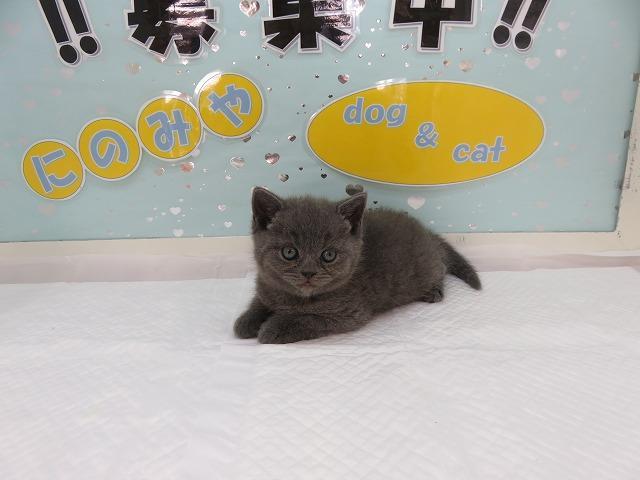 温和で人気猫種!ブリティッシュショートヘア!ブルー!メス!