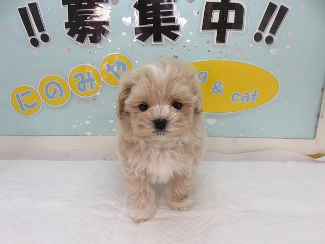 当店一番人気のミックス犬!プーマル!クリームホワイト!オス!