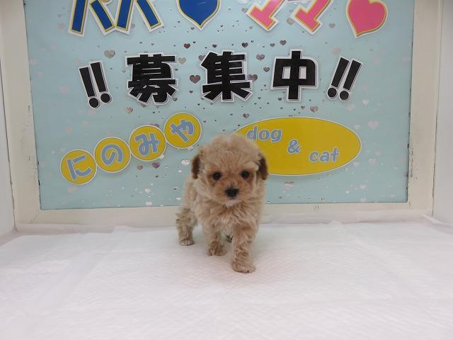 当店一番人気のミックス犬!プーマル!クリームホワイト!メス!