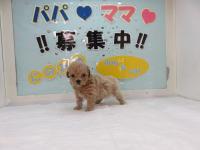 当店一番人気のミックス犬!プーマル!アプリコット!メス!